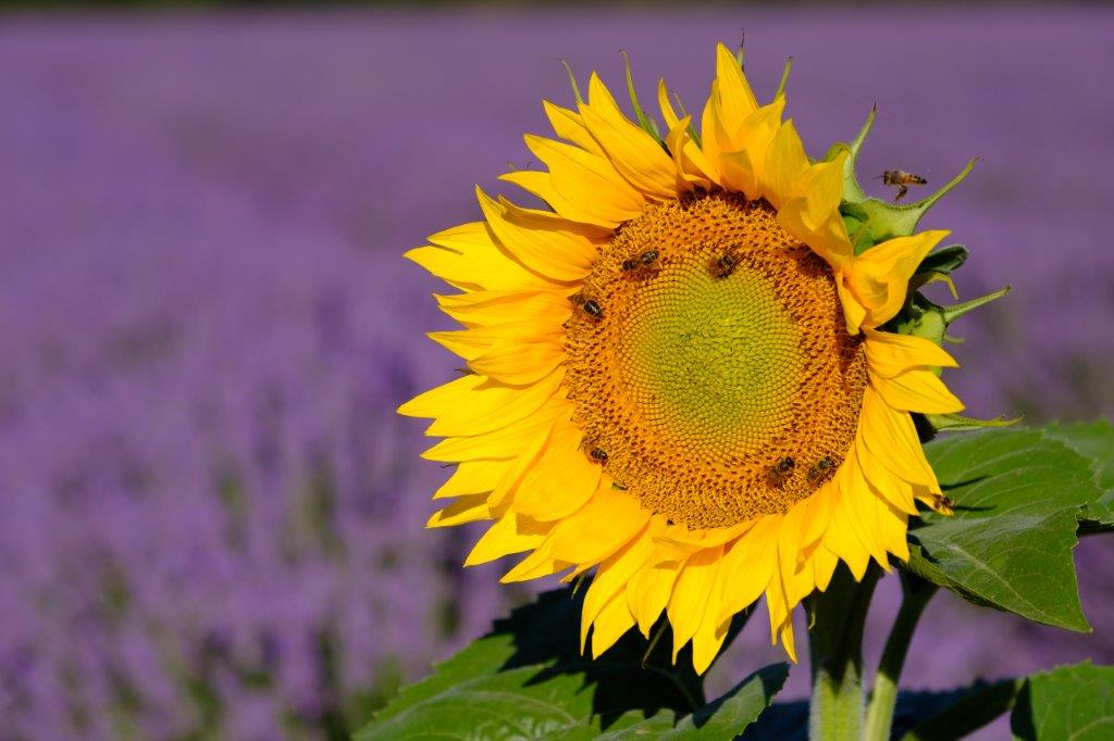 aweekinprovencesunflower